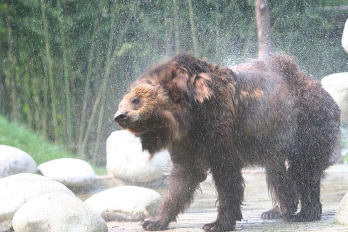 rescue-bear-torture-vest-caesar-bile-farm-china-9