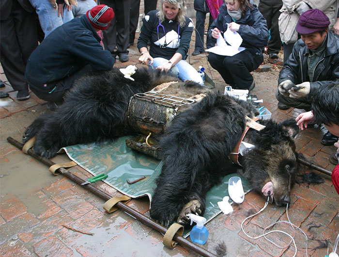 Bear Tortured For Years In Metal Vest Finally Freed
