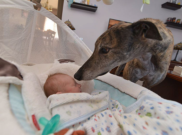 rescue-dog-loves-baby-greyhound-racing-mosley-lucas-5