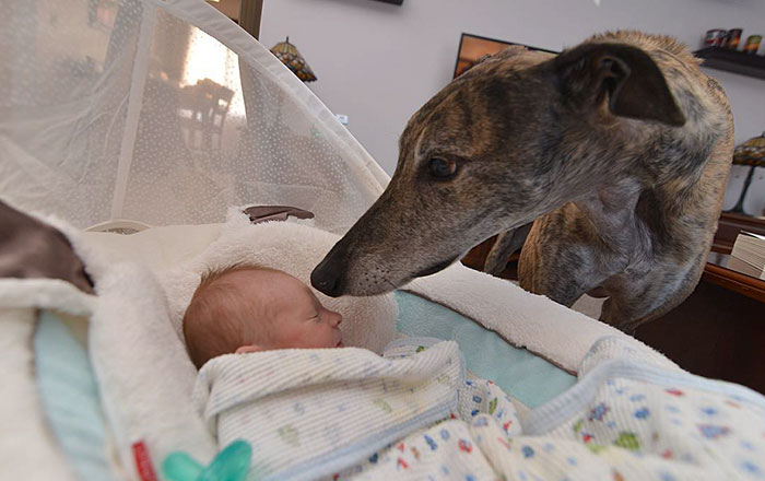 Greyhound Rescued From Racing Was Afraid Of Affection Until He Saw His Baby Brother