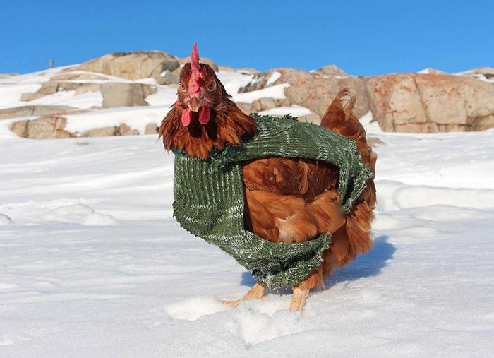 sailing-chicken-guy-monique-guirec-soudeel-17