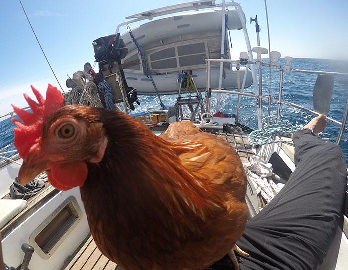 sailing-chicken-guy-monique-guirec-soudeel-21