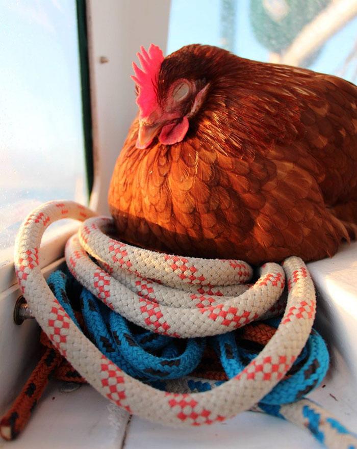 sailing-chicken-guy-monique-guirec-soudeel-6