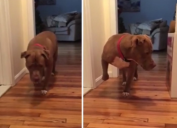 This Pit Bull Tiptoes Around Because He Is Scared Of Disturbing The Cat