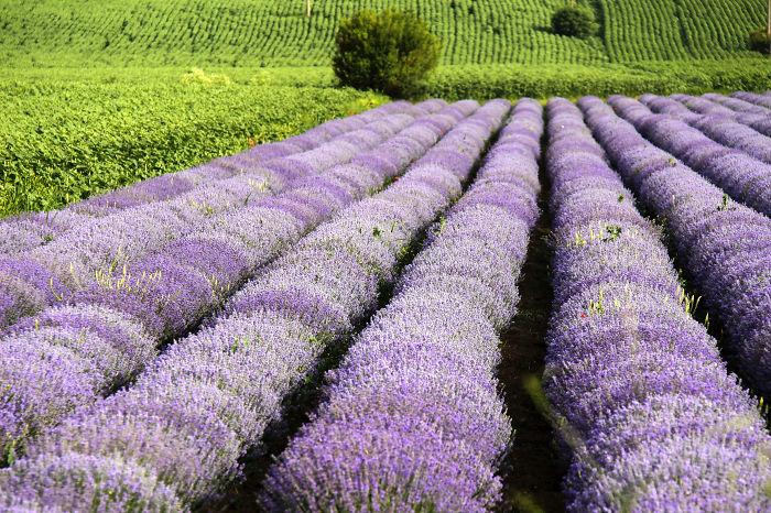 Walk Around The Lavender Fields.