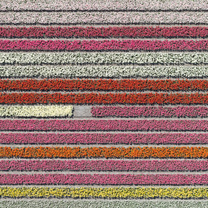 Colourful Patterns Of Tulip Fields In Netherlands
