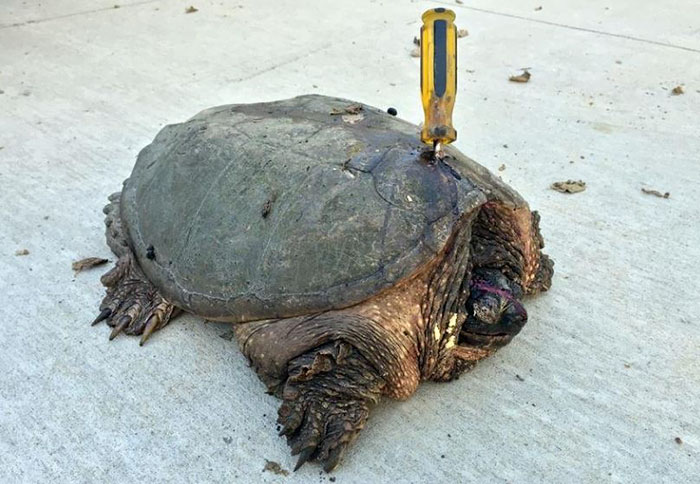 turtle-stabbed-screwdriver-tuttle-2