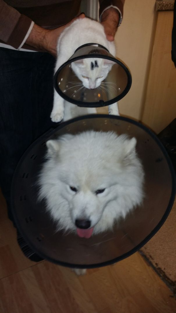 Arctic, The Samoyed And I Am,the Cat...best Buddies