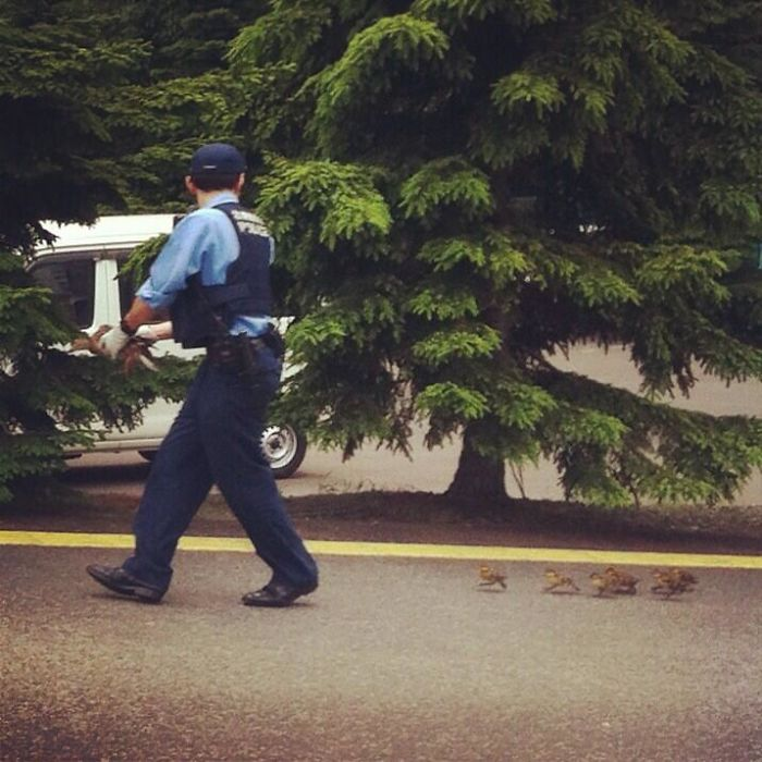 Officer Helping Little Ducks To Cross The Road