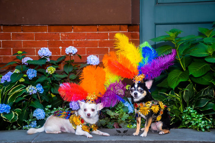 Chihuahuas Take Over Pride Parade In New York