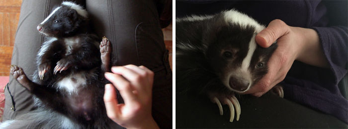 Charlie The Skunk's First And Last Day. She Was The Most Cuddly Animal In The World!