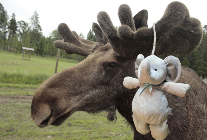 In A Swedish Moose-park!