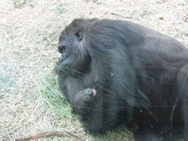 Parenting fails - Gorilla