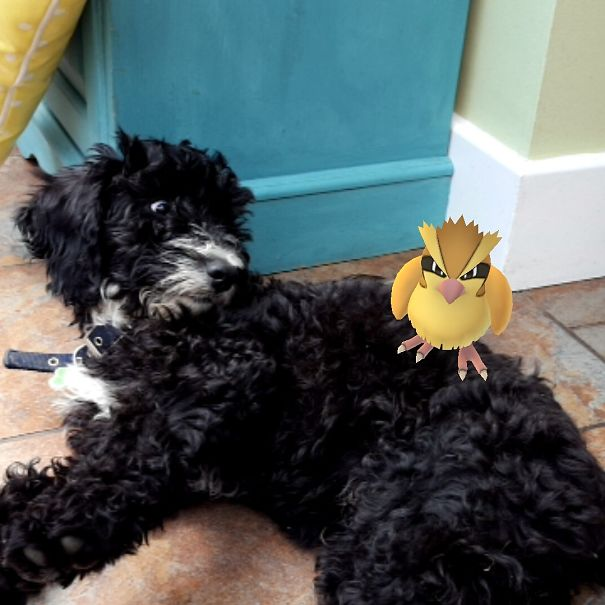 Even My Dog Can Find A Pidgey