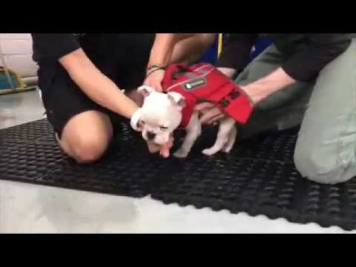 Meet Herbie – The Frenchie Puppy Hoping For Brain Surgery!