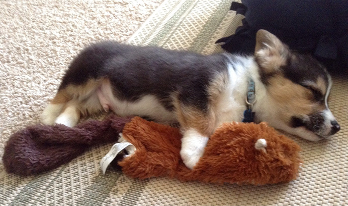 First Day Home. He Played With His Squeaky Squirrel Until He Passed Out