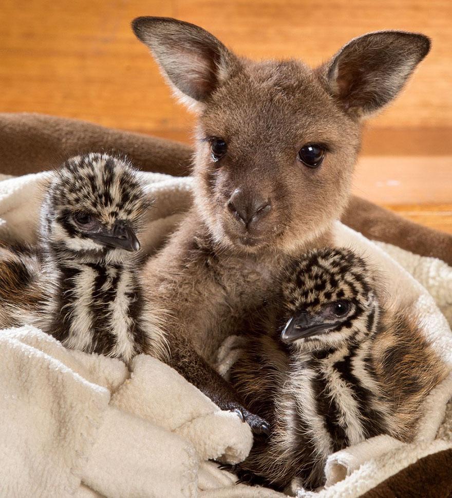 baby-kangaroo-emu-cuddle-sandwich-edi-eli-reuben-2