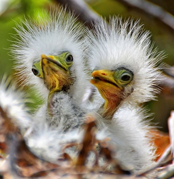 bird-baby-egrets-57974c0add544.jpg