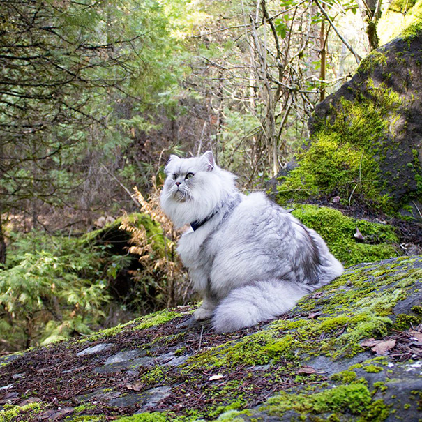 Meet Gandalf The Traveling Cat