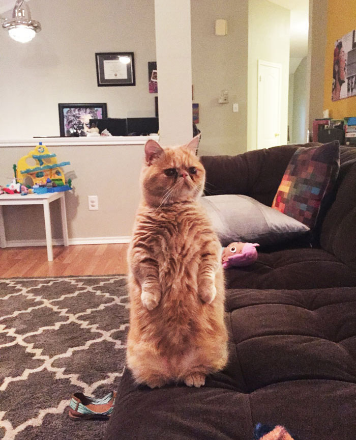 cat-standing-on-2-legs-george-13
