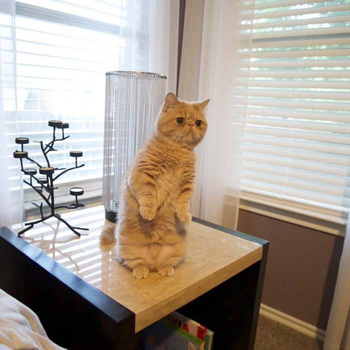 Meet Human Cat Who Keeps Standing On 2 Legs And Judging