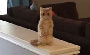 Meet Human-Cat Who Keeps Standing On 2 Legs And Judging His Owners