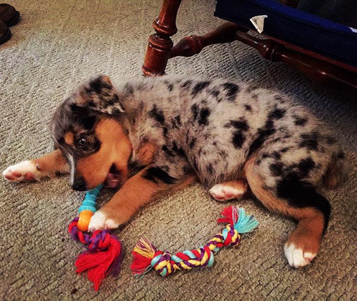 couple-gets-dog-instead-of-baby-australian-shepard-asher-dorien- bryant-3