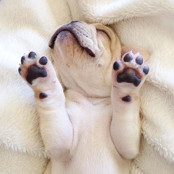 cute-bulldog-smiling-sleeping-dog-narcoleptic-frenchiebutt-millo-17