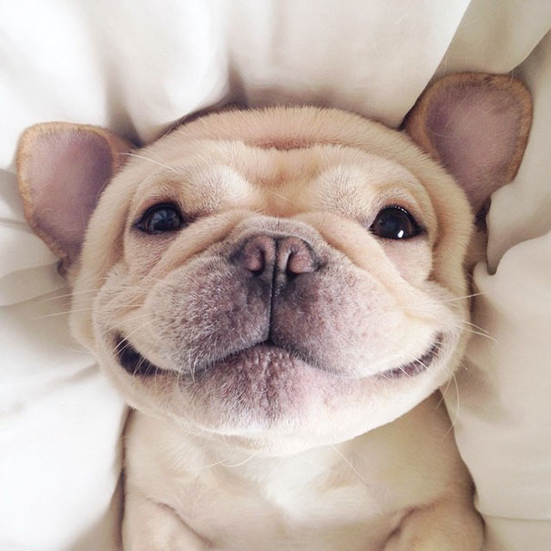 cute-bulldog-smiling-sleeping-dog-narcoleptic-frenchiebutt-millo-2