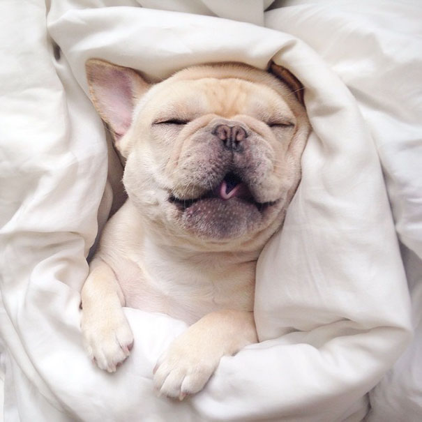 Meet Milo, A Narcoleptic Bulldog Who Will Make You Say ...