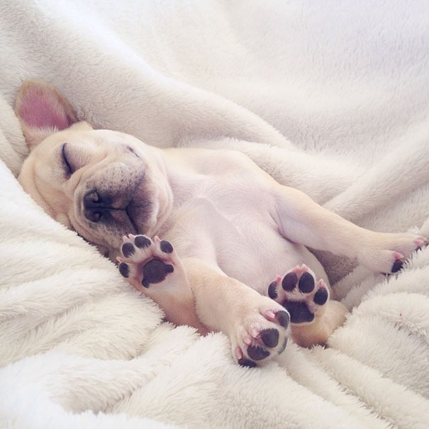 cute-bulldog-smiling-sleeping-dog-narcoleptic-frenchiebutt-millo-24