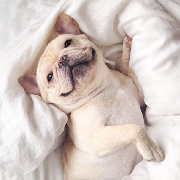 cute-bulldog-smiling-sleeping-dog-narcoleptic-frenchiebutt-millo-26