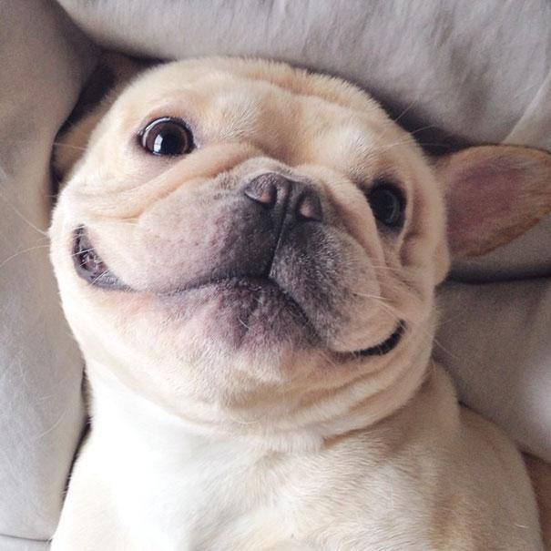 cute-bulldog-smiling-sleeping-dog-narcoleptic-frenchiebutt-millo-34