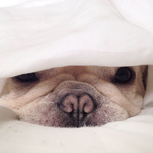 cute-bulldog-smiling-sleeping-dog-narcoleptic-frenchiebutt-millo-5