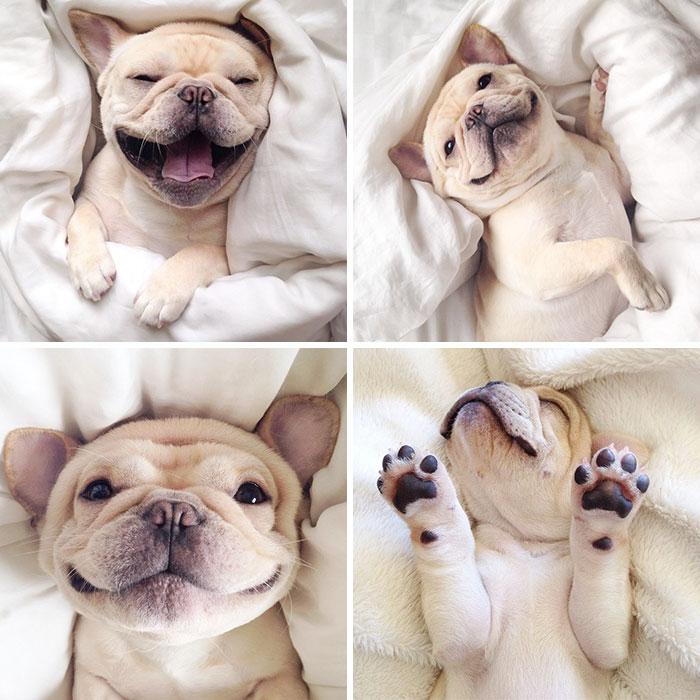 "Meet Milo, A Narcoleptic Bulldog Who Will Make You Say ""Awww"""