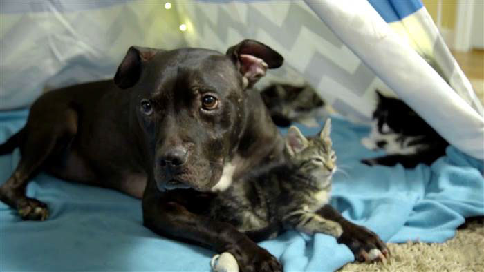 dog-pitbull-rescued-fighting-ring-loves-kittens-cherry-garcia-10