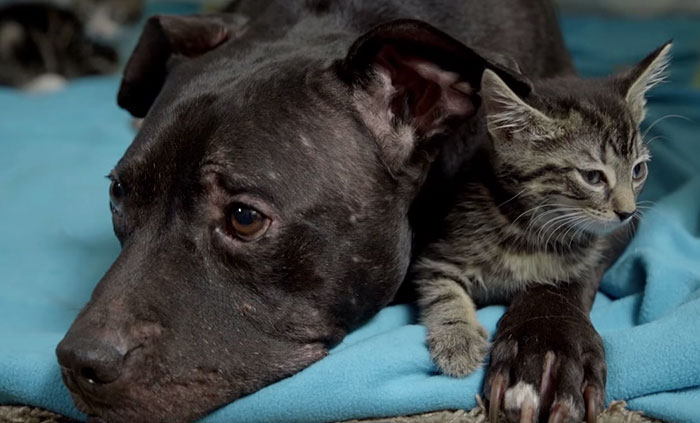 dog-pitbull-rescued-fighting-ring-loves-kittens-cherry-garcia-3