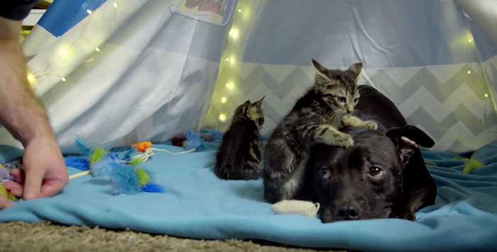 dog-pitbull-rescued-fighting-ring-loves-kittens-cherry-garcia-4