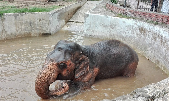 elephant-free-30-years-alone-murghazar-zoo-kaavan-3