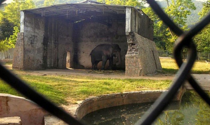 elephant-free-30-years-alone-murghazar-zoo-kaavan-7