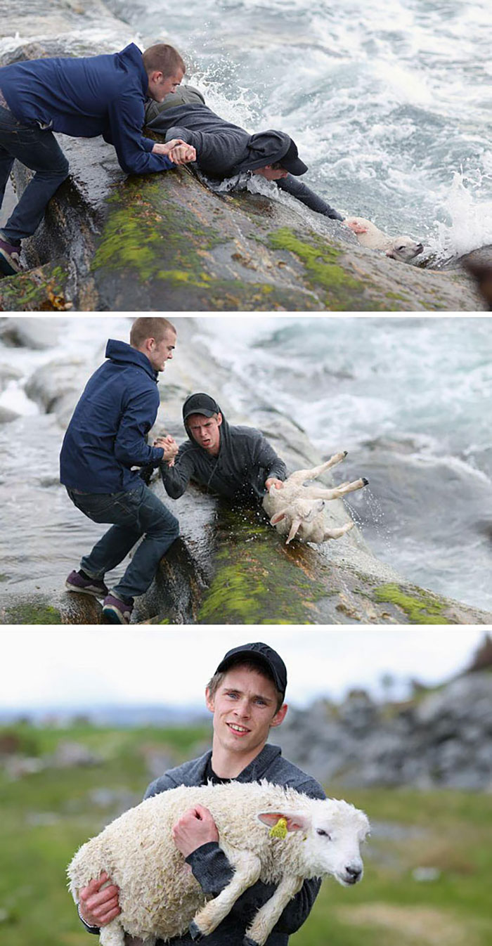 Two Norwegian Guys Rescuing A Baby Lamb Drowning In The Ocean