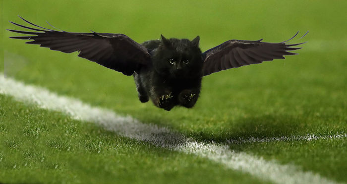 Low Pass Flying Crow-cat!