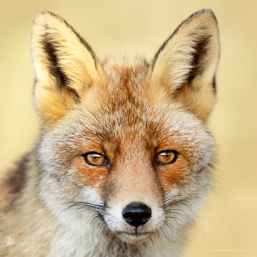 fox-faces-roeselien-raimond-grey