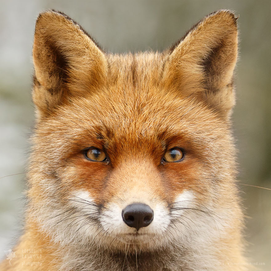 fox-faces-roeselien-raimond-red-mr-fox