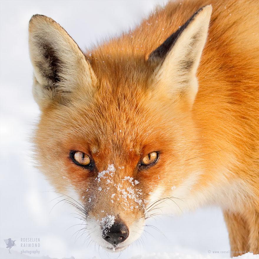 fox-faces-roeselien-raimond-snow