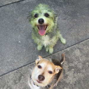 Can You Guess Which Dog Helped Mow The Lawn?