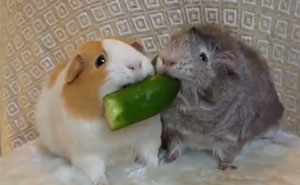 Guinea Pigs Don't Share Food