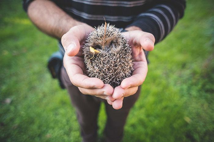 hedgehog-officer-ipswich-2