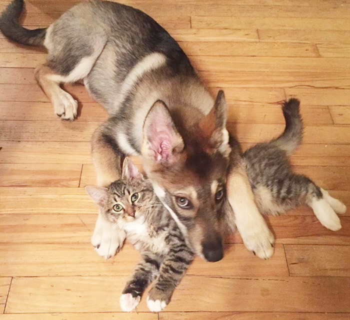This Husky Picked Out Her Own Kitten To Take Home From Shelter - Kitten escapes pet store display to join lonely puppy
