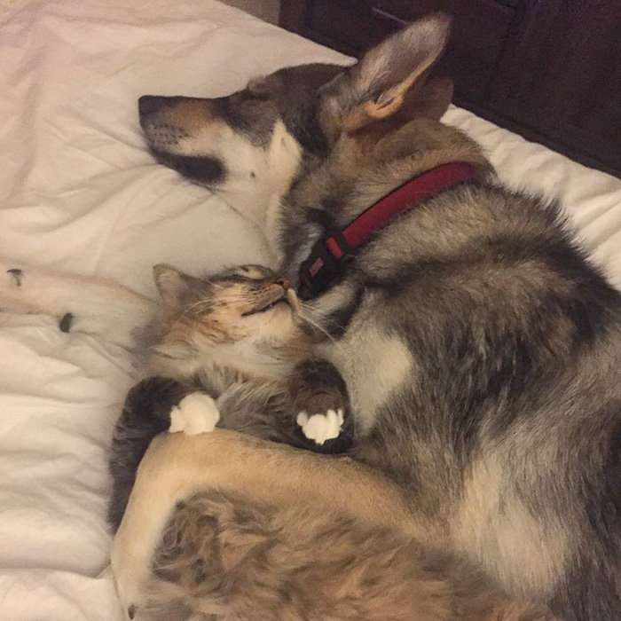Cat Carrying Dog